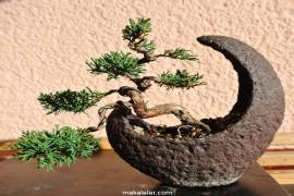 Ardıç Ağacı Nedir, Özellikleri ve Faydaları Nelerdir?