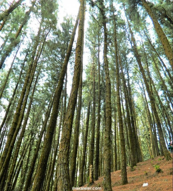 Çam Ağacının Türleri ve Özellikleri Nelerdir?