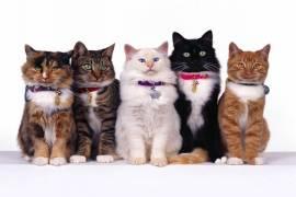 Evde Bakılabilecek Kedi Irkları ve Özellikleri