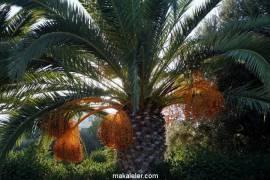 Hurma Ağacı Özellikleri, İnsana Benzerlikleri ve Çeşitleri