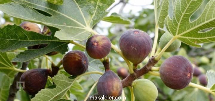 İncir Ağacı Nedir, Özellikleri Nelerdir?