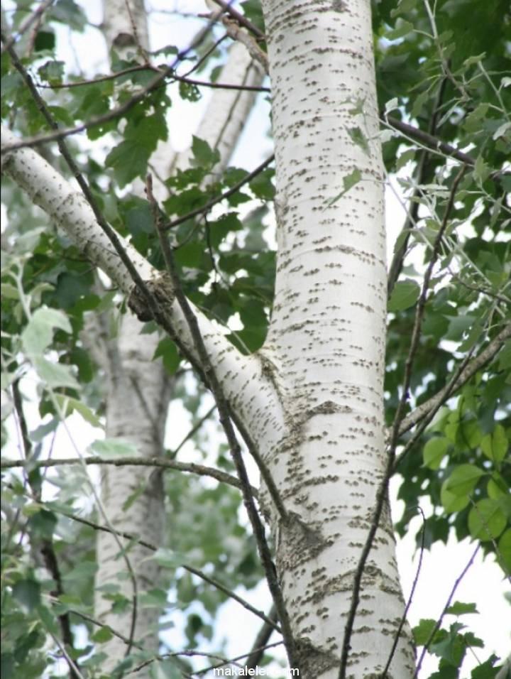 Kavak Ağacının Türleri ve Özellikleri