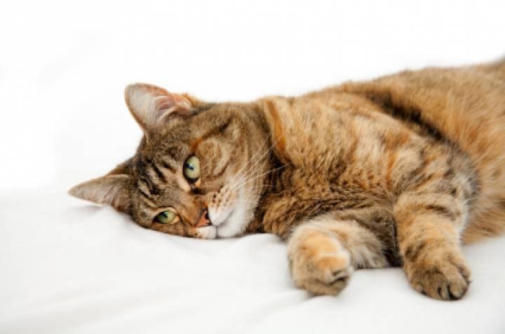 Kedilerde Böbrek Yetmezliği