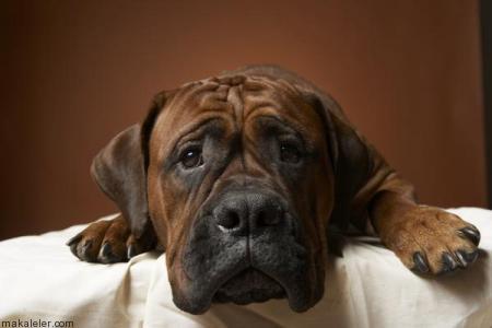 Köpekler Neden Ağlar?