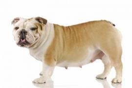 Köpeklerde Kızgınlık ve Hamilelik Süreçleri