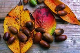 Meşe Ağacı Nedir, Özellikleri Nelerdir?