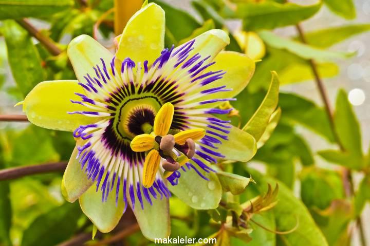 Passiflora (Çarkıfelek) Nedir, Ne İşe Yarar?