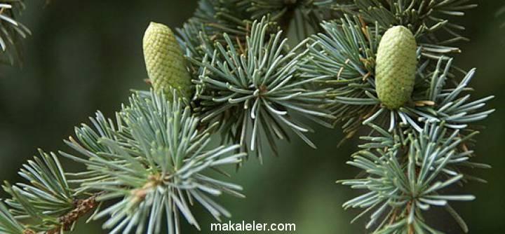 Sedir Ağacı Nedir, Özellikleri Nelerdir?