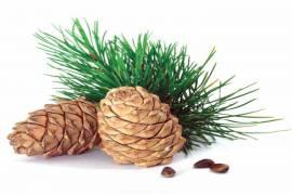 Sedir Ağacı Yağı Kullanımı ve Faydaları